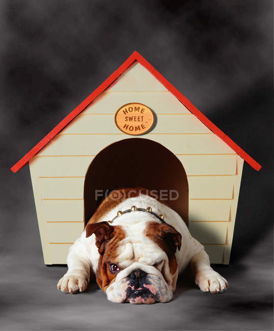 Funny bulldog lying in dog house and sulking on grey background — Stock Photo