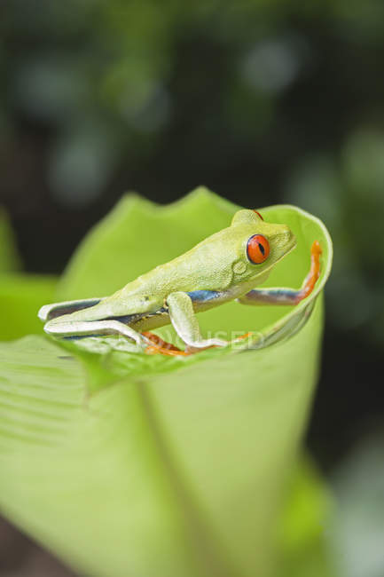 Красноглазая древесная лягушка на краю листа, Коста-Рика — стоковое фото