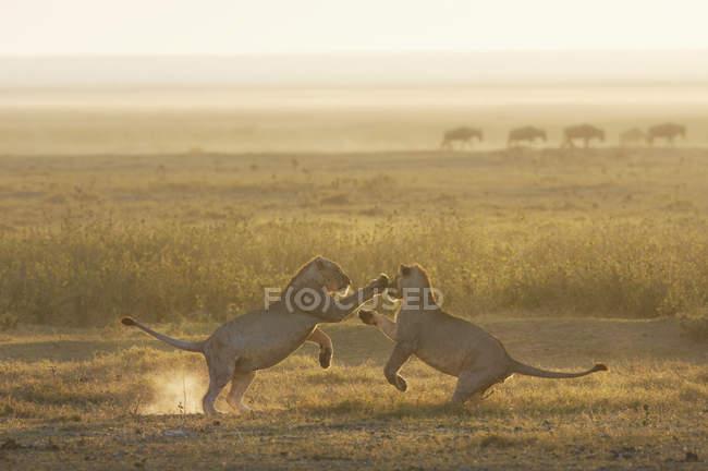 Леви, граючи в Національний парк Амбоселі — стокове фото