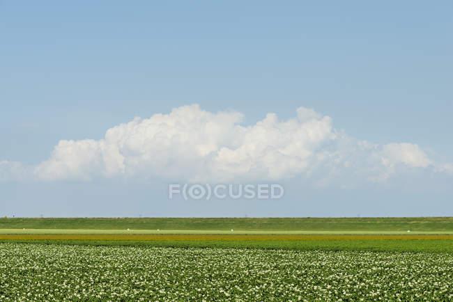 Campo di patate fiorite sotto cielo blu — Foto stock