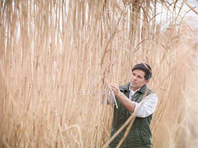 Farmer inspecting fields of Miscanthus crops at harvest time on biomass farm — Stock Photo