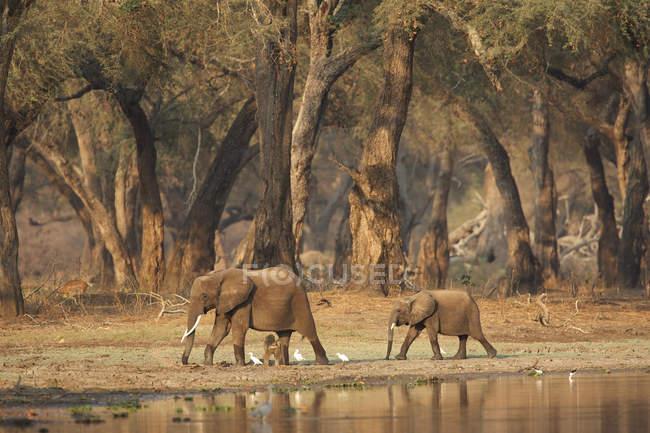 Afrikanische Elefanten laufen im Morgengrauen am Wasserloch in Akazienwäldern vorbei, Mana Pools Nationalpark, Zimbabwe, Afrika — Stockfoto