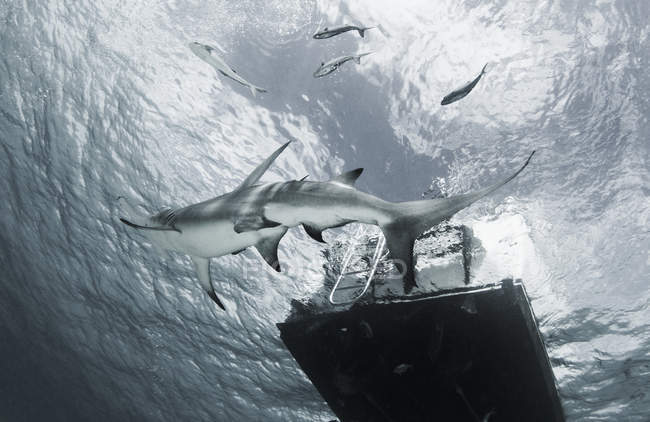 Grand requin marteau nageant plate-forme passé — Photo de stock