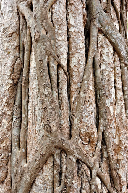 Trunk of tropical tree, close-up, Siem Reap, Cambodi — Stock Photo