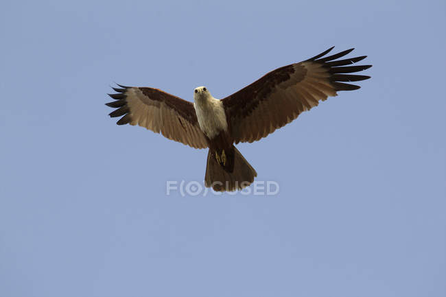 Brahminy kite ou Haliastur indus voler dans le ciel bleu, Kerala, Inde — Photo de stock