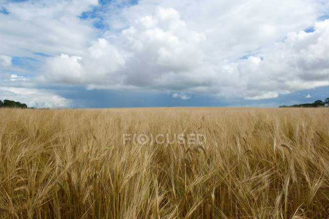 Clouds over field of tall grass — Stock Photo