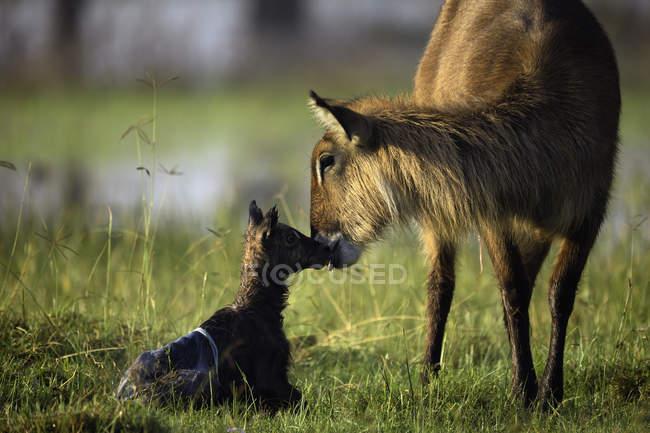 Madre y bebé waterbuck, Parque Nacional del lago Nakuru, Kenia, África - foto de stock