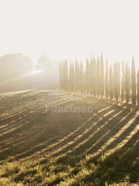 Зеленое поле, выстланное кипарисами в солнечном свете — стоковое фото