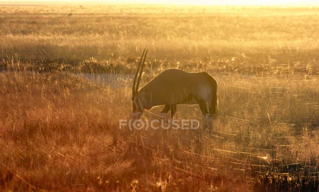 Oryx grazing at sunset, Etosha National Park, Namibia — Stock Photo