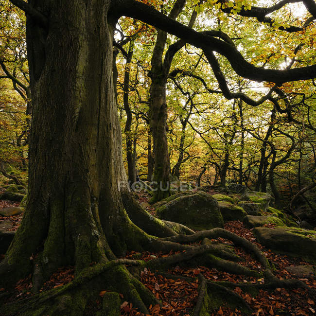 Large tree with exposed roots in dark forest — Stock Photo