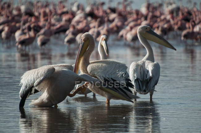 Pelícanos y flamencos en aguas poco profundas del lago Nakuru, Kenia - foto de stock