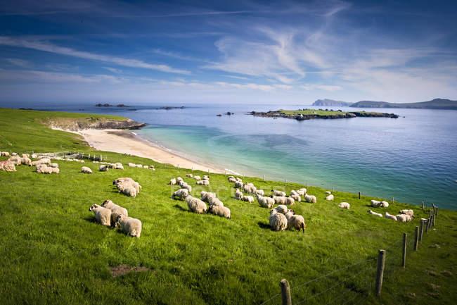Moutons paissant sur une colline verdoyante en plein soleil — Photo de stock