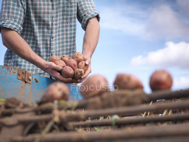 Perto do agricultor que detém a cultura de batatas biológicas — Fotografia de Stock