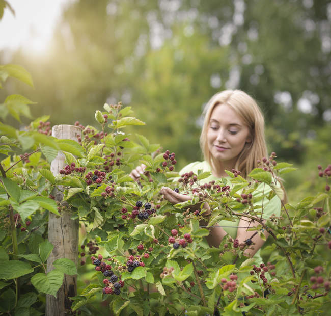 Working picking blackberries on fruit farm — Stock Photo