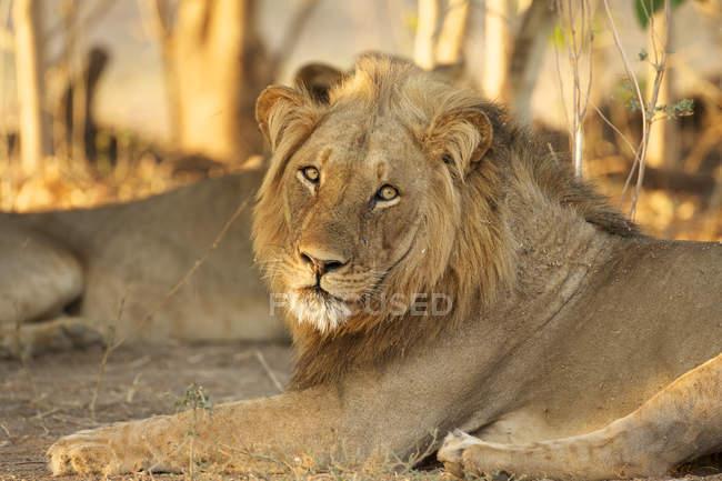 Ritratto di leone maschio curioso nel Parco Nazionale delle Piscine di Mana, Zimbabwe — Foto stock