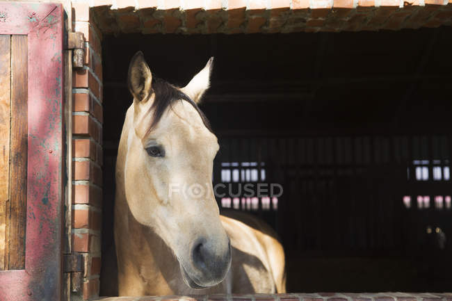 Horse peering from brick stable building — Stock Photo