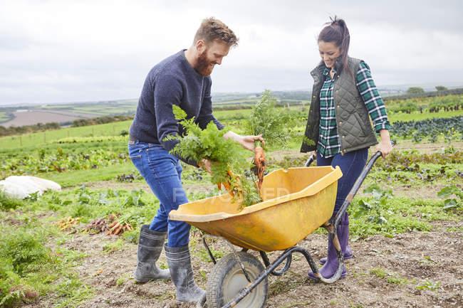 Ehepaar auf Bauernhof erntet Möhren in Schubkarre — Stockfoto