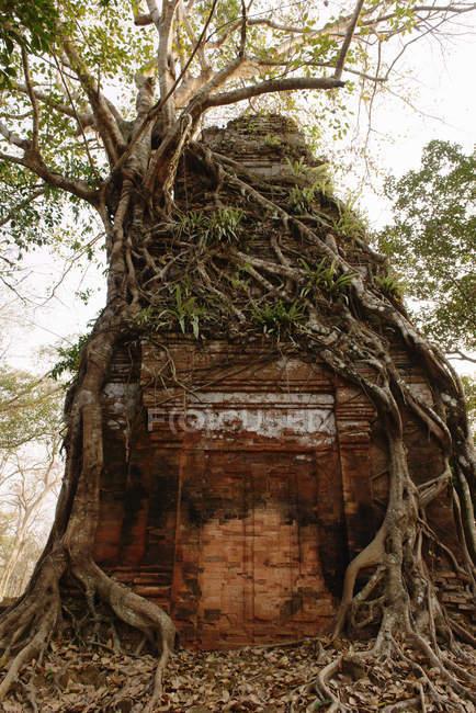 Rovinare le radici dell'albero che cresce su e intorno alla pietra, Prasat Thom, Koh Ker, Cambogia — Foto stock
