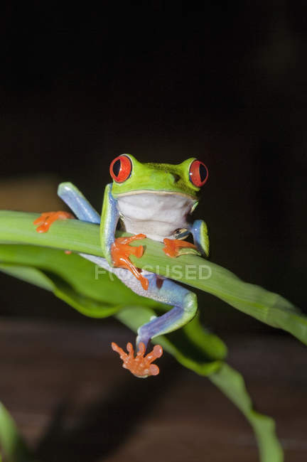 Red-eyed tree frog holding onto stem, Costa Rica — Stock Photo