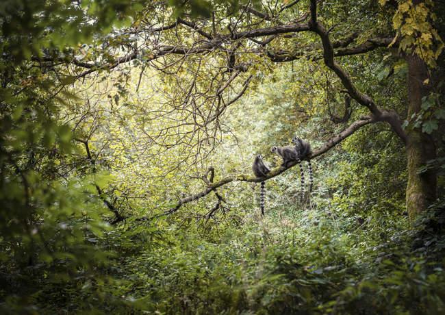Trois lémuriens à queue cerclée assis dans un arbre forestier — Photo de stock