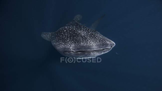 Squalo balena nuota sott'acqua — Foto stock