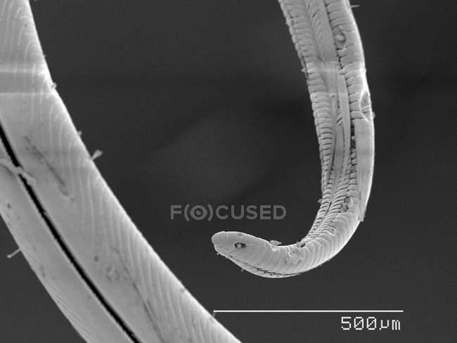Micrografía electrónica de barrido de la polilla sphingidae proboscis - foto de stock