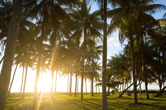 Palm trees on green field in bright evening sunlight — Stock Photo