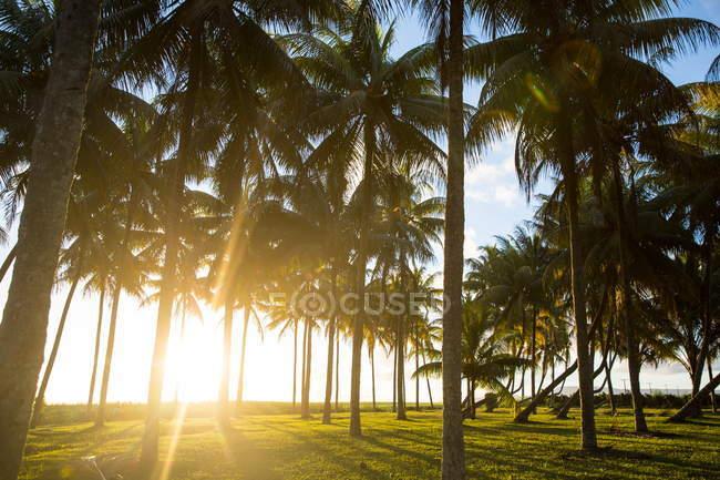 Palmeiras em campo verde na luz solar brilhante noite — Fotografia de Stock