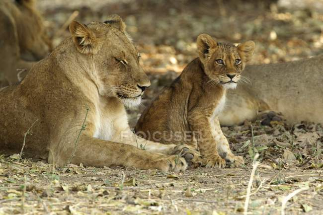 Lionne ou Panthera leo avec la cub dans le parc national de mana pools, zimbabwe — Photo de stock