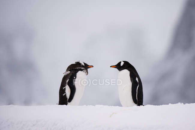 Two gentoo penguins looking at each other on snow near antarctic ocean, antarctica — Stock Photo