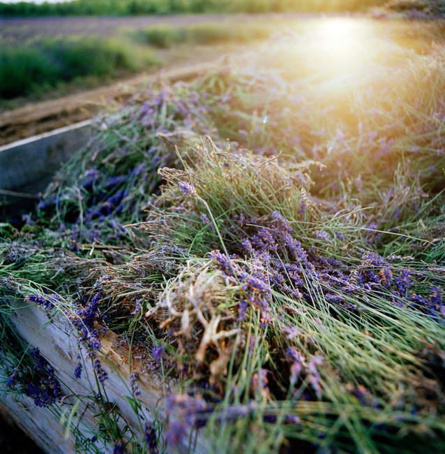 Lavande récoltée à la ferme dans la campagne anglaise — Photo de stock