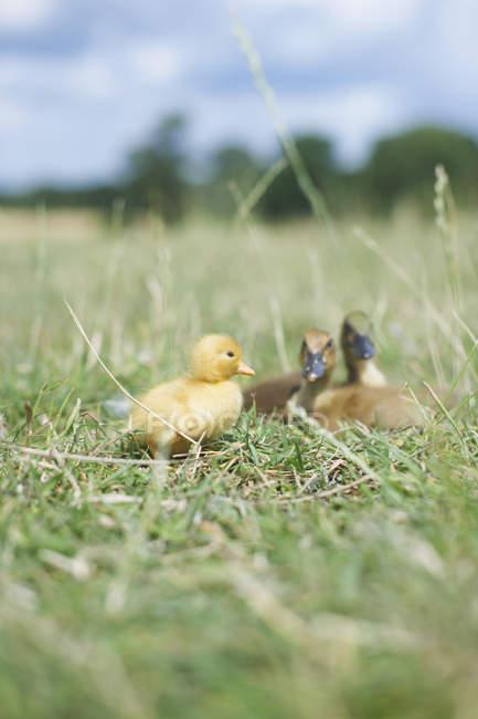 Baby-Küken und Entenküken auf dem grünen Rasen, Nahaufnahme Schuss — Stockfoto