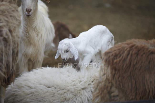Cabras y cabritos cabríos, Ibri, Az Zahira, Omán, Oriente Medio - foto de stock