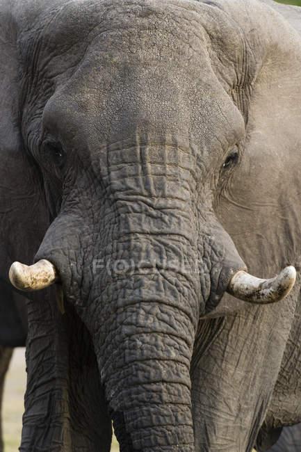 One big African elephant (Loxodonta africana), Khwai concession, Okavango delta, Botswana — Stock Photo