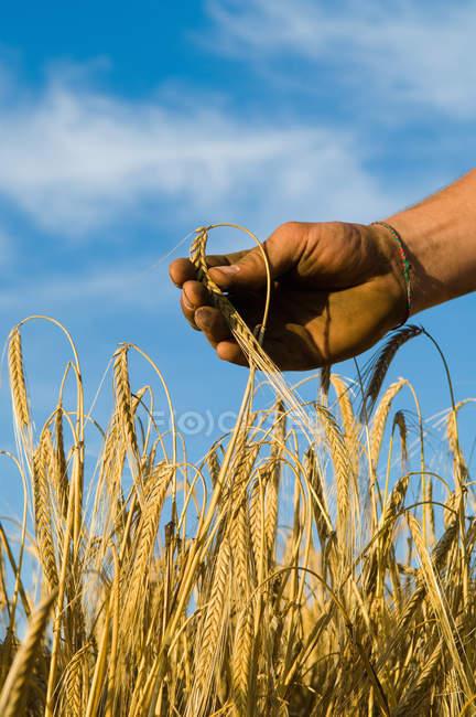 Cropped image of Hand holding barley — Stock Photo