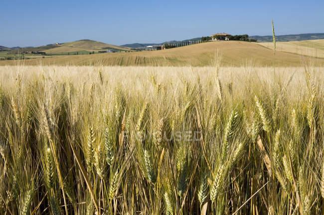 Пшеничное поле, Val d 'Orcia, Сиена, Тоскана, Италия — стоковое фото