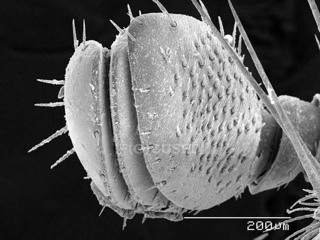 Micrografía electrónica de la antena del escarabajo Japonés - foto de stock
