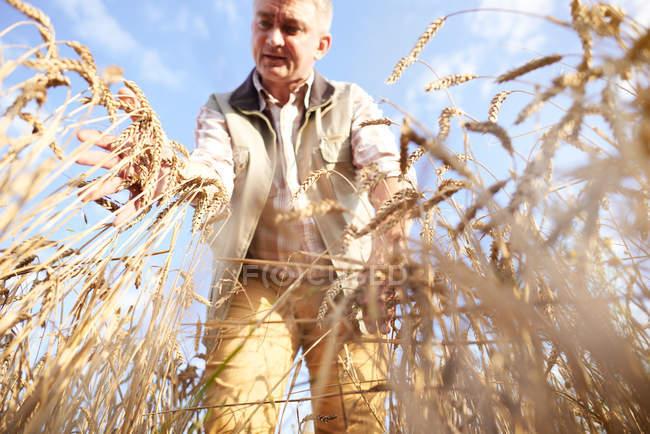 Bauer im Weizenfeld Qualitätskontrolle Weizen — Stockfoto