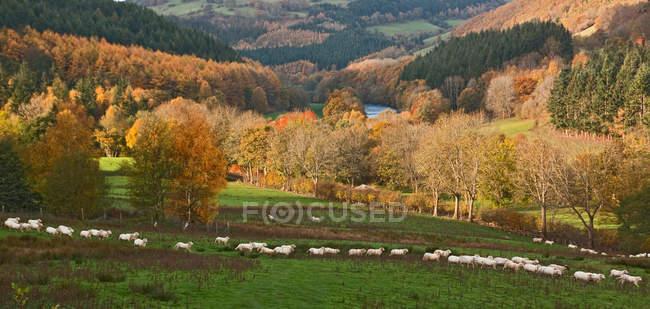 Овцы пастбища в поле — стоковое фото