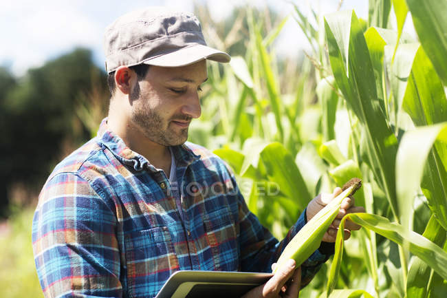 Farmer in corn field quality checking corn plants — Stock Photo