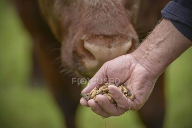 Fermeture manuelle des éleveurs qui nourrissent le bétail — Photo de stock