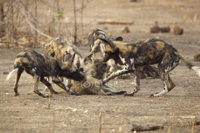 Afrikanische Wildhunde oder Lycaon Pictus greifen jugendliche Paviane im Mana Pools Nationalpark in Zimbabwe an — Stockfoto