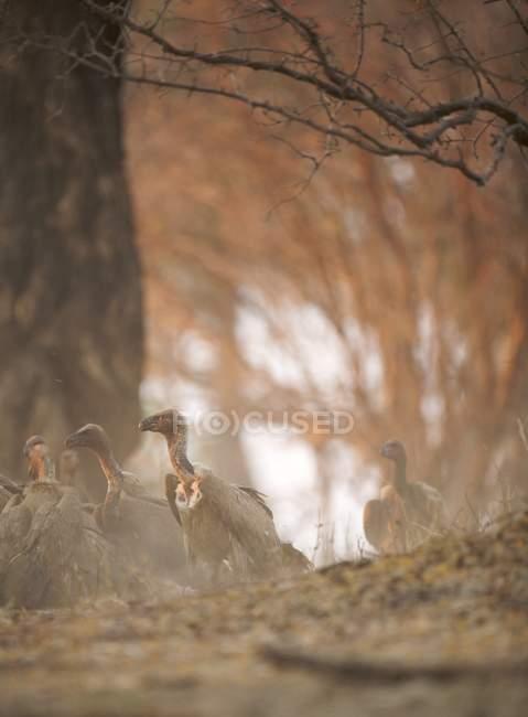 Vautours à dos blanc dans la poussière au coucher du soleil — Photo de stock