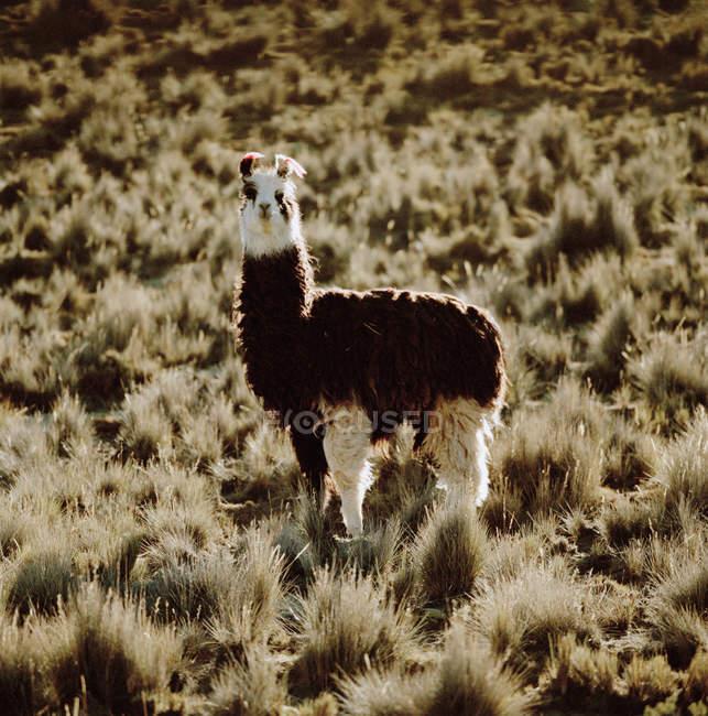Ламы в пустыне Атакама, Чили, Южная Америка — стоковое фото
