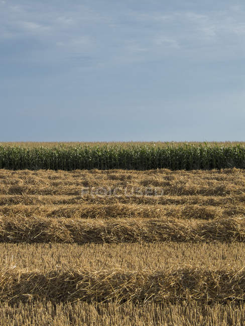 Field with rows of cut wheat — Stock Photo