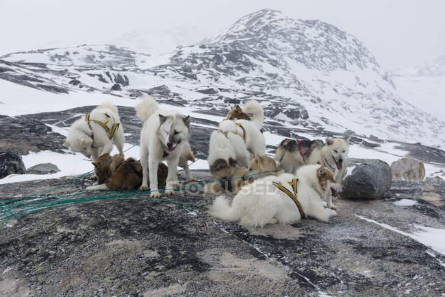 Grupo de huskies da Gronelândia em paisagem coberta de neve, Ilulissat, Gronelândia — Fotografia de Stock