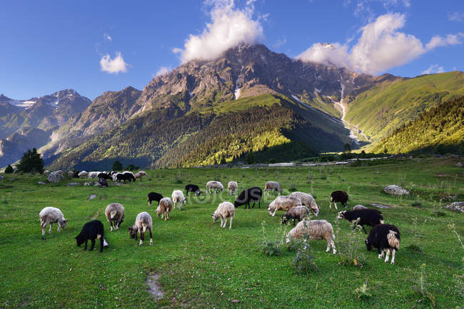 Баран пасуче на зелену долину біля гори — стокове фото
