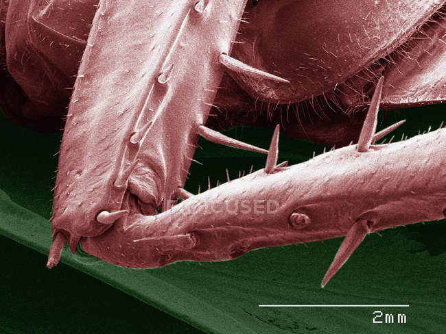 Coloured scanning electron micrograph of American cockroach leg — Stock Photo