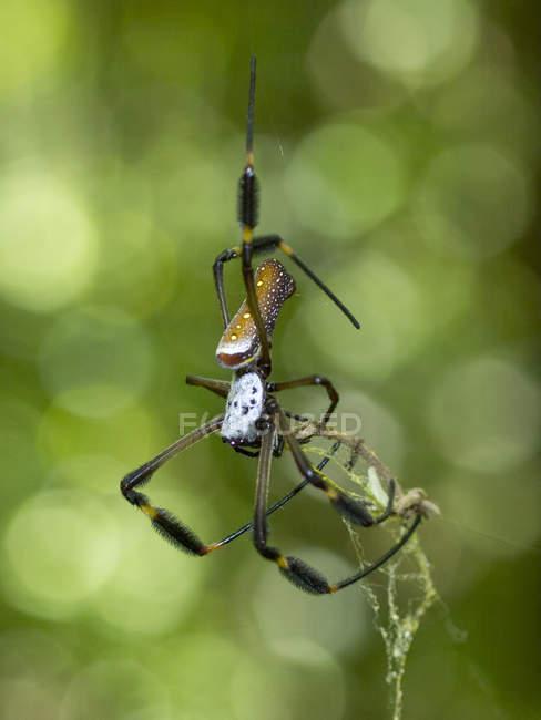 Orb-tisserand de soie dorée, Nephila sp, Parque Tayrona, Magdalena, Colombie — Photo de stock