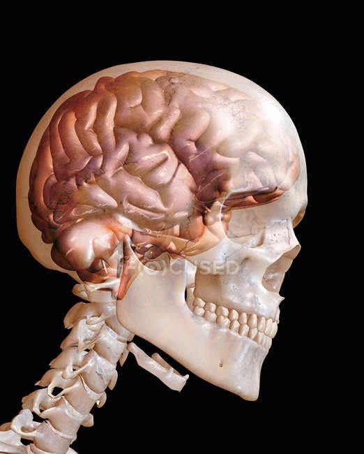 Primer plano de la cabeza humana transparente mostrando el cerebro - foto de stock